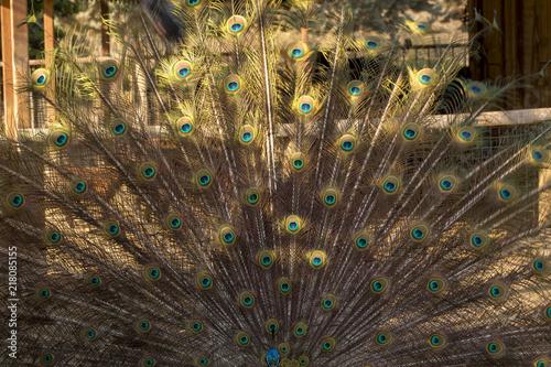 Fotografie, Obraz  Male Peacock Bird. Open Feathers Tail
