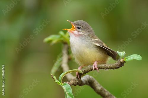 Spoed Foto op Canvas Vogel Tailor bird