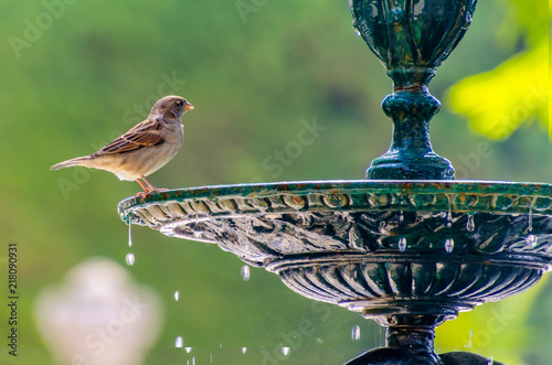 Foto sparrow standing about to drinking water