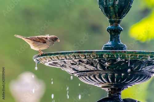 sparrow drinking water Fototapeta