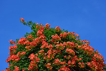 Big Climbing Bush In Bloom In ...