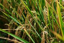Harvesting Time. Farm, Paddy ...