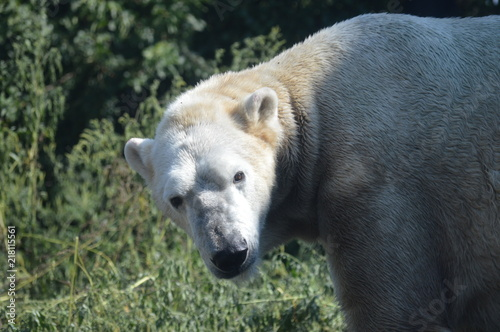 Staande foto Ijsbeer Polar bear in the outdoors during summer
