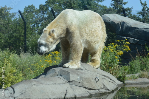 Tuinposter Ijsbeer Polar bear in the outdoors during summer