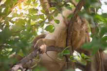Brown Monkey Laying On Branch ...