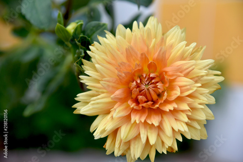 Photographie orange dahlia at garden full sun