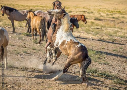 Stampa su Tela wild stallions fighting