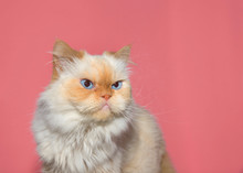 Close Up Portrait Of A Cream Colored Peke-face Persian, Which Has An Extremely Flat Face. Looks Like A Cranky Cat. Pink Background