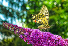Yellow Swallowtail Butterfly (...