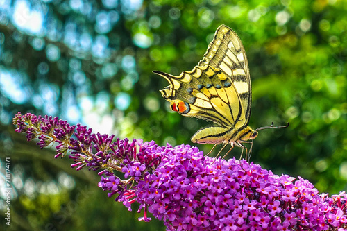 Obraz na plátně  Yellow swallowtail butterfly (Papilio machaon) feeding on flowering summer lilac or butterfly-bush