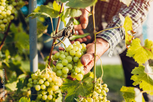 Fotografia, Obraz Farmer gathering crop of grapes on ecological farm