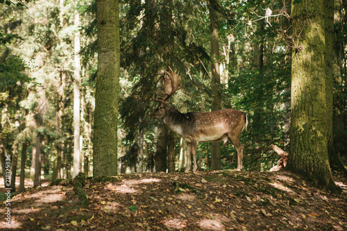 Poster Cerf Wild deer in the forest. Animal in a natural habitat