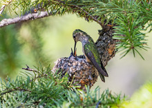 Hungry Hummer - A Mother Broad...