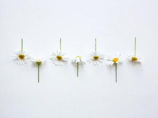 Chamomile Top view Many flowers of chamomile with stems are lying in a row on a white table Photo template