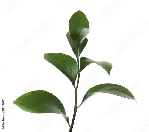 Poster Vegetal Ruscus branch with fresh green leaves on white background