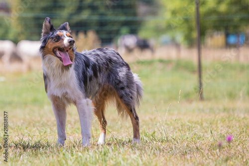 Fotografia, Obraz Portrait of border collie dog living in belgium