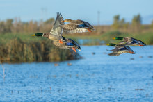 Flock Of Flying Colorful Ducks