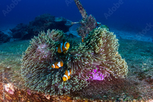Slika na platnu A family of False Clownfish in a beautiful purple anemone on a tropical coral re