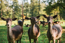 Three Beautiful Curious Roes Stand In The Background Of Blurry Herd In Sunny Autumn Park And Looking In To The Camera