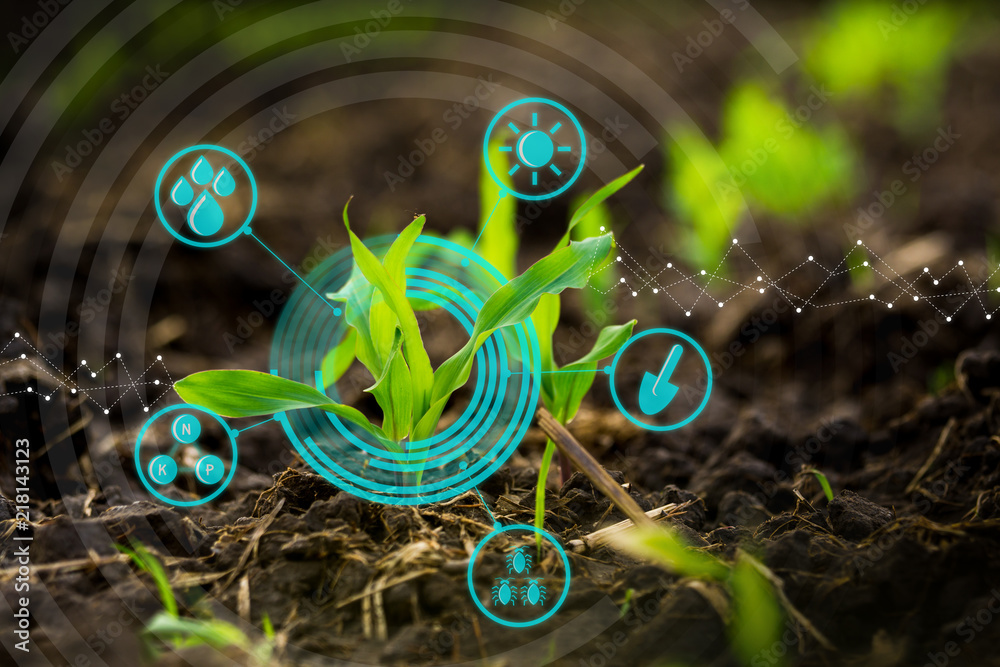 Fototapety, obrazy: Growing young maize seedling in cultivated agricultural farm field with modern technology concepts