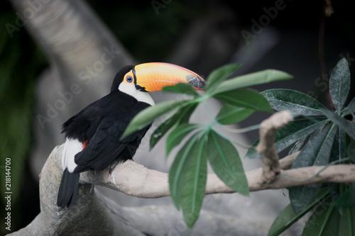 Staande foto Toekan tropical toucan bird 3