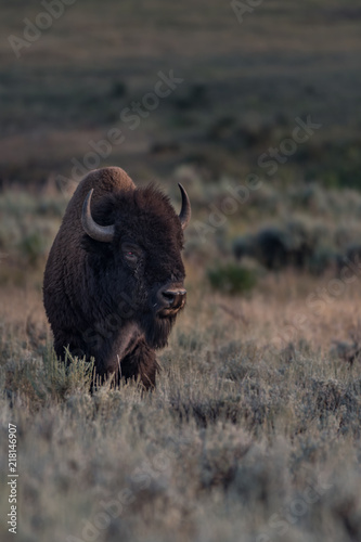 In de dag Bison Old Male Bison with Damaged Eye