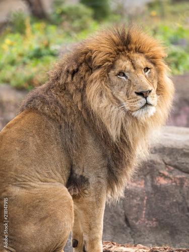 Staande foto Leeuw こちらを振り向くライオン