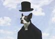 Surreal Boston Terrier in Suit