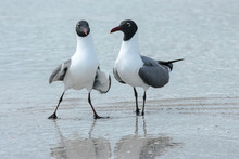 Laughing Gull Mating Dance
