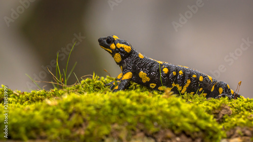 Fire salamander in forest