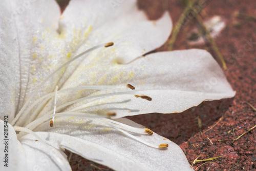 azalea macro