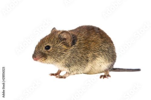 Bank vole walking on white background