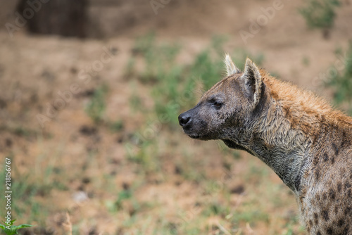 An hyena is looking