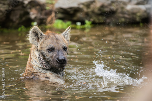 Foto op Aluminium Hyena playing hyena in the water