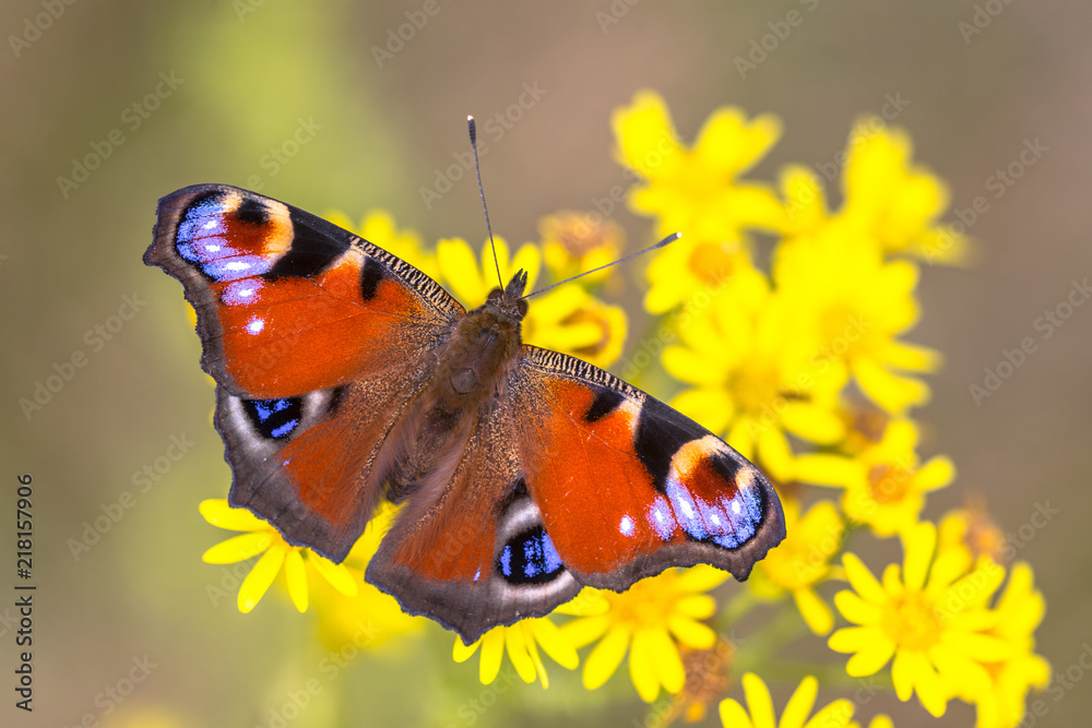 Colorful Peacock butterfly