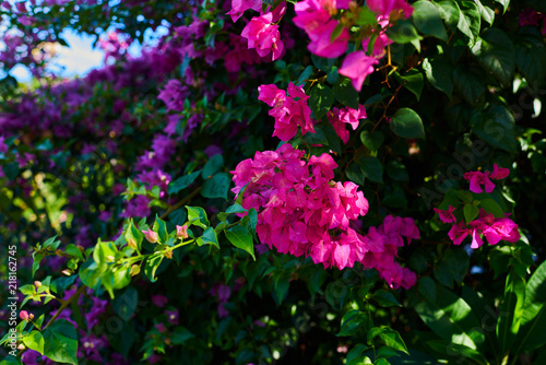 Fotobehang Bloemen Blooming bougainvillea. Colorful flowers in nature. Pink flowers on a natural blurred green foliage background. Floral card nature. Summer blooming bright flowers festive background. Floral card.