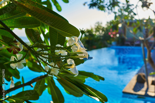 Fotobehang Bloemen Colorful flowers in nature. Plumeria flower blooming in the beach. White and yellow frangipani flowers with green foliage in background. Summer blooming bright flowers festive background. Floral card.