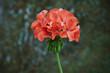Leinwandbild Motiv orange geranium flower in vintage background