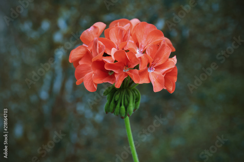 orange geranium flower in vintage background