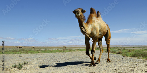 Tuinposter Kameel camel in the gobi desert in Mongolia