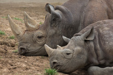Two White Rhinos Lying Together