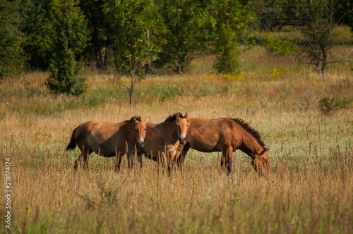 Fotografie, Obraz  Wild Przewalski's horses on the meadow outdoors