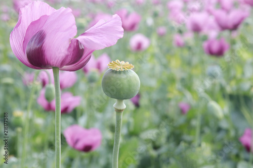 Obraz Field of pink opium poppy - fototapety do salonu