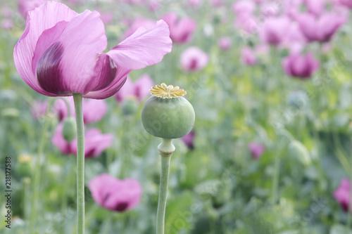 Field of pink opium poppy - 218177588