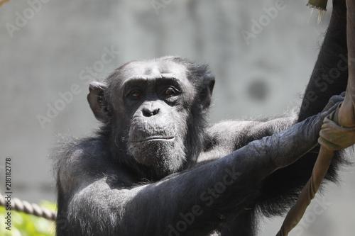 Fotobehang Aap 猿 サル 申 チンパンジー
