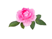 Bright Pink Rose Flower Isolated On White