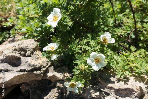 Fotografía  Florescence of Dasiphora fruticosa in the rock garden