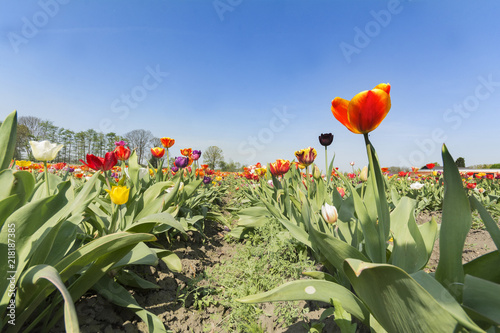 A tulip field in spring