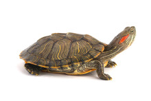 Trachemys Scripta Elegans On White