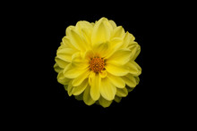 Yellow Flower On A Black Backg...